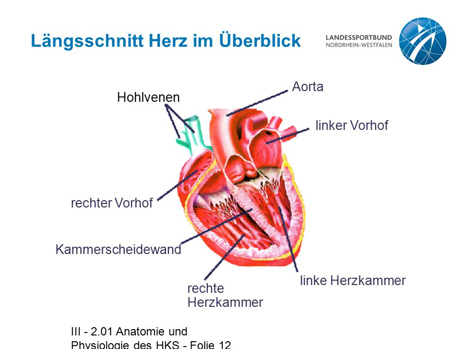 III - 2.01 Anatomie und Physiologie des HKS - Folie 12 Längsschnitt Herz im Überblick Hohlvenen Aorta linker Vorhof linke Herzkammer rechte Herzkammer