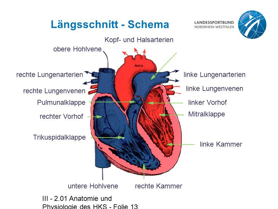 III - 2.01 Anatomie und Physiologie des HKS - Folie 13 Längsschnitt - Schema linke Lungenarterien linke Lungenvenen linker Vorhof Mitralklappe linke K