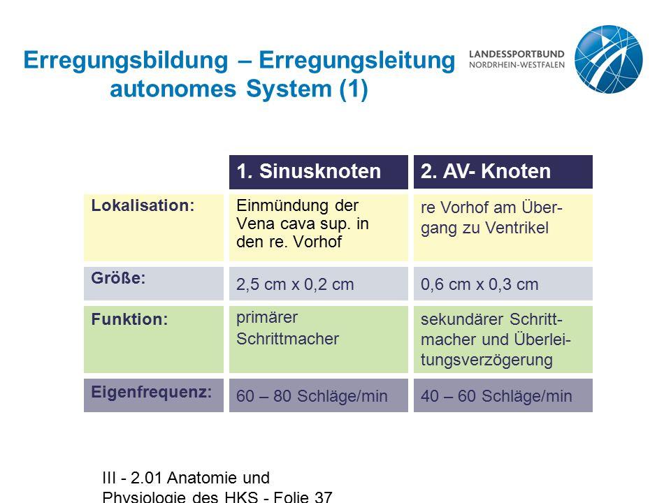 III - 2.01 Anatomie und Physiologie des HKS - Folie 37 Erregungsbildung – Erregungsleitung autonomes System (1) Einmündung der Vena cava sup. in den r