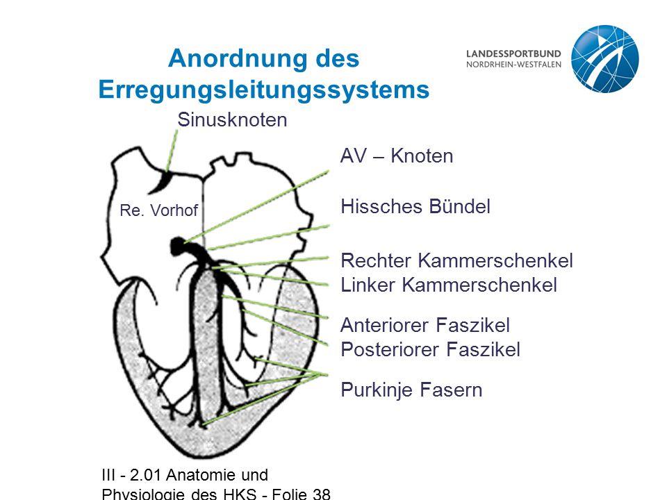 III - 2.01 Anatomie und Physiologie des HKS - Folie 38 Anordnung des Erregungsleitungssystems AV – Knoten Hissches Bündel Rechter Kammerschenkel Linke