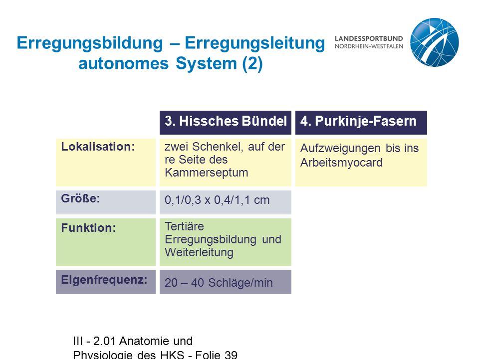III - 2.01 Anatomie und Physiologie des HKS - Folie 39 Erregungsbildung – Erregungsleitung autonomes System (2) zwei Schenkel, auf der re Seite des Ka