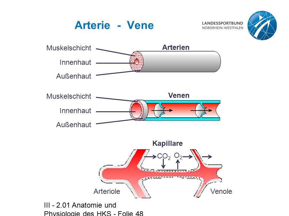 III - 2.01 Anatomie und Physiologie des HKS - Folie 48 Arterie - Vene Muskelschicht Innenhaut Außenhaut Arterien Muskelschicht Innenhaut Außenhaut Ven