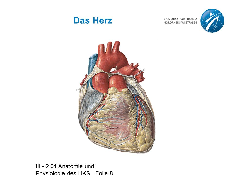 III - 2.01 Anatomie und Physiologie des HKS - Folie 59 Daten zum Herz (2)  HF 60 – 80 S/min  SV 70 – 80 ml  HMV 4 – 7 l  Auswurffraktion 60%  Herzindex : 3 – 3,3 l/min pro m2 Körperoberfläche  Blutvolumen 5 – 6 l  Druckwerte im Herz -Re Vorhof 2 – 5 mmHg -Li Vorhof 5 – 10 mmHg -Li Kammer enddiast.
