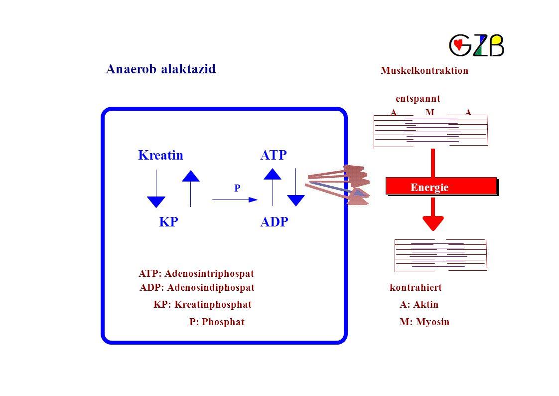 Anaerob alaktazid Muskelkontraktion entspannt AMA KreatinATP P Energie KPADP ATP: Adenosintriphospat ADP: Adenosindiphospatkontrahiert KP: KreatinphosphatA: Aktin P: PhosphatM: Myosin