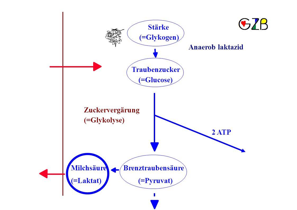 Stärke (=Glykogen) Anaerob laktazid Traubenzucker (=Glucose) Zuckervergärung (=Glykolyse) 2 ATP MilchsäureBrenztraubensäure (=Laktat)(=Pyruvat)