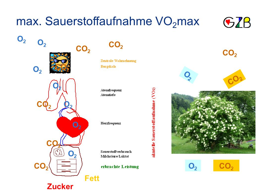max. Sauerstoffaufnahme VO 2 max CO 2 O2O2 O2O2 O2O2 O2O2 O2O2 O2O2 O2O2 O2O2 O2O2 Fett Zucker