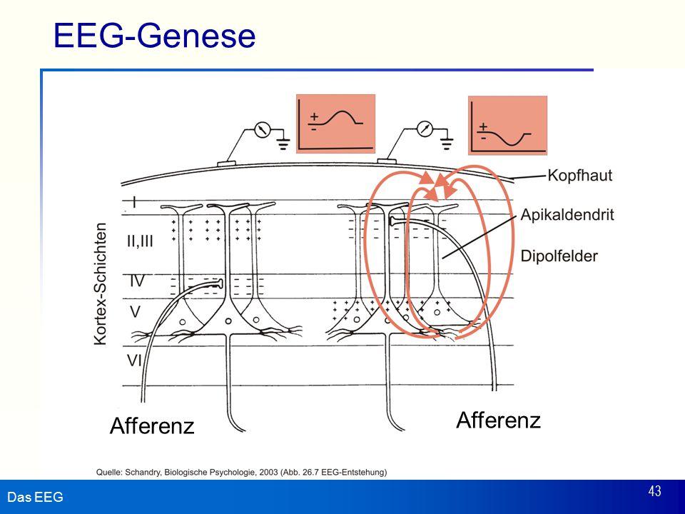 Das EEG 43 EEG-Genese Afferenz