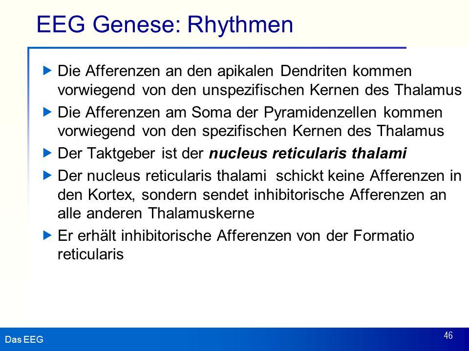 Das EEG 46 EEG Genese: Rhythmen  Die Afferenzen an den apikalen Dendriten kommen vorwiegend von den unspezifischen Kernen des Thalamus  Die Afferenzen am Soma der Pyramidenzellen kommen vorwiegend von den spezifischen Kernen des Thalamus  Der Taktgeber ist der nucleus reticularis thalami  Der nucleus reticularis thalami schickt keine Afferenzen in den Kortex, sondern sendet inhibitorische Afferenzen an alle anderen Thalamuskerne  Er erhält inhibitorische Afferenzen von der Formatio reticularis