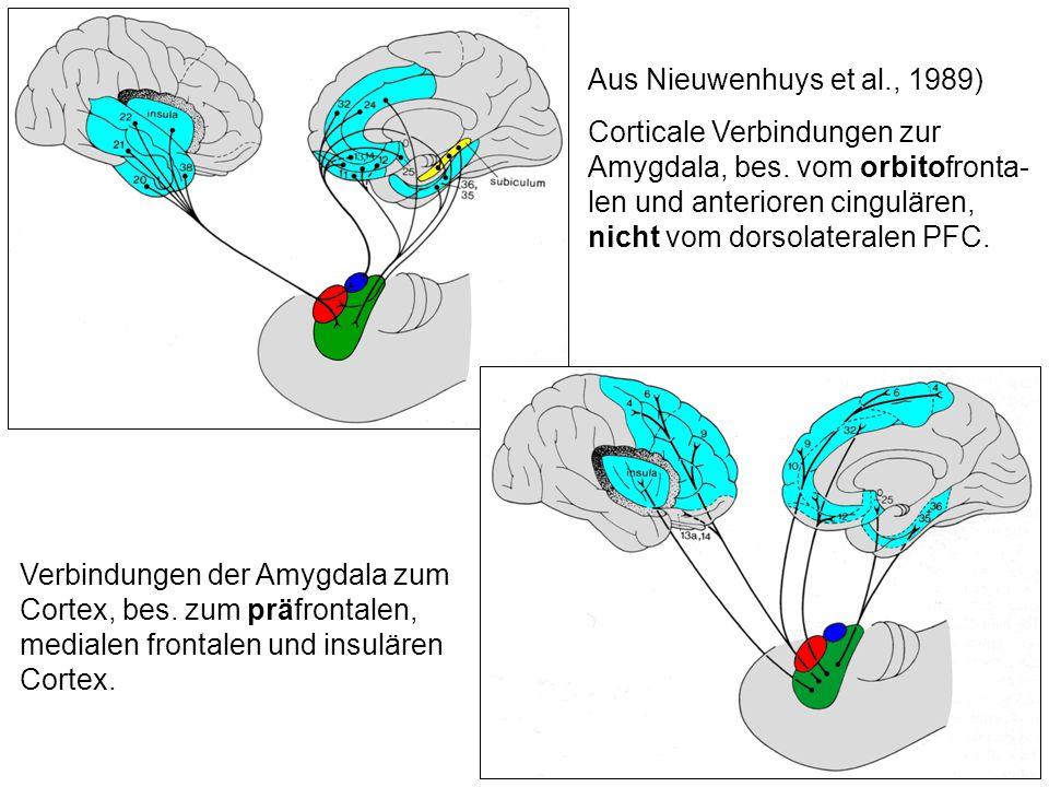 Aus Nieuwenhuys et al., 1989) Corticale Verbindungen zur Amygdala, bes. vom orbitofronta- len und anterioren cingulären, nicht vom dorsolateralen PFC.