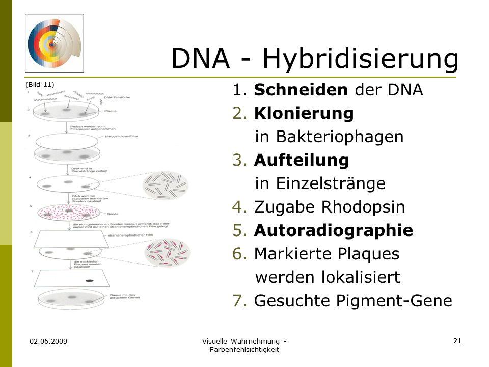 Visuelle Wahrnehmung - Farbenfehlsichtigkeit 21 DNA - Hybridisierung 1. Schneiden der DNA 2. Klonierung in Bakteriophagen 3. Aufteilung in Einzelsträn