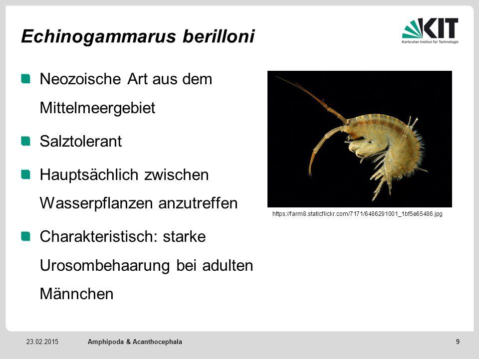 23.02.2015 Echinogammarus berilloni Neozoische Art aus dem Mittelmeergebiet Salztolerant Hauptsächlich zwischen Wasserpflanzen anzutreffen Charakteris