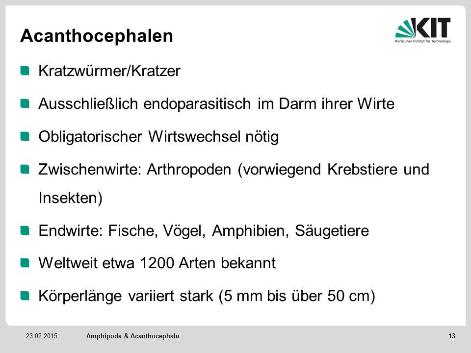 23.02.2015 Acanthocephalen Kratzwürmer/Kratzer Ausschließlich endoparasitisch im Darm ihrer Wirte Obligatorischer Wirtswechsel nötig Zwischenwirte: Arthropoden (vorwiegend Krebstiere und Insekten) Endwirte: Fische, Vögel, Amphibien, Säugetiere Weltweit etwa 1200 Arten bekannt Körperlänge variiert stark (5 mm bis über 50 cm) Amphipoda & Acanthocephala 13