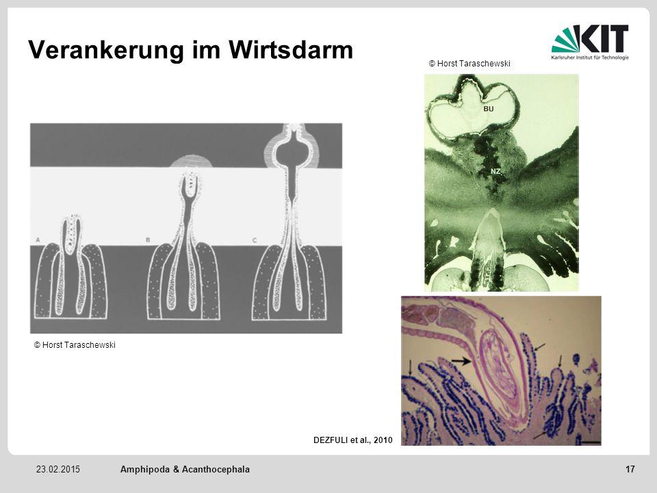 23.02.2015 Verankerung im Wirtsdarm Amphipoda & Acanthocephala © Horst Taraschewski DEZFULI et al., 2010 17
