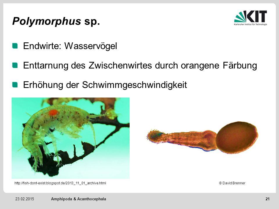 23.02.2015 Polymorphus sp. Endwirte: Wasservögel Enttarnung des Zwischenwirtes durch orangene Färbung Erhöhung der Schwimmgeschwindigkeit Amphipoda &