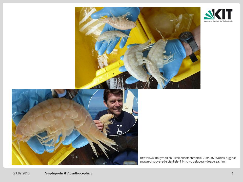 23.02.2015Amphipoda & Acanthocephala http://www.dailymail.co.uk/sciencetech/article-2095397/Worlds-biggest- prawn-discovered-scientists-11-inch-crustacean-deep-sea.html 3
