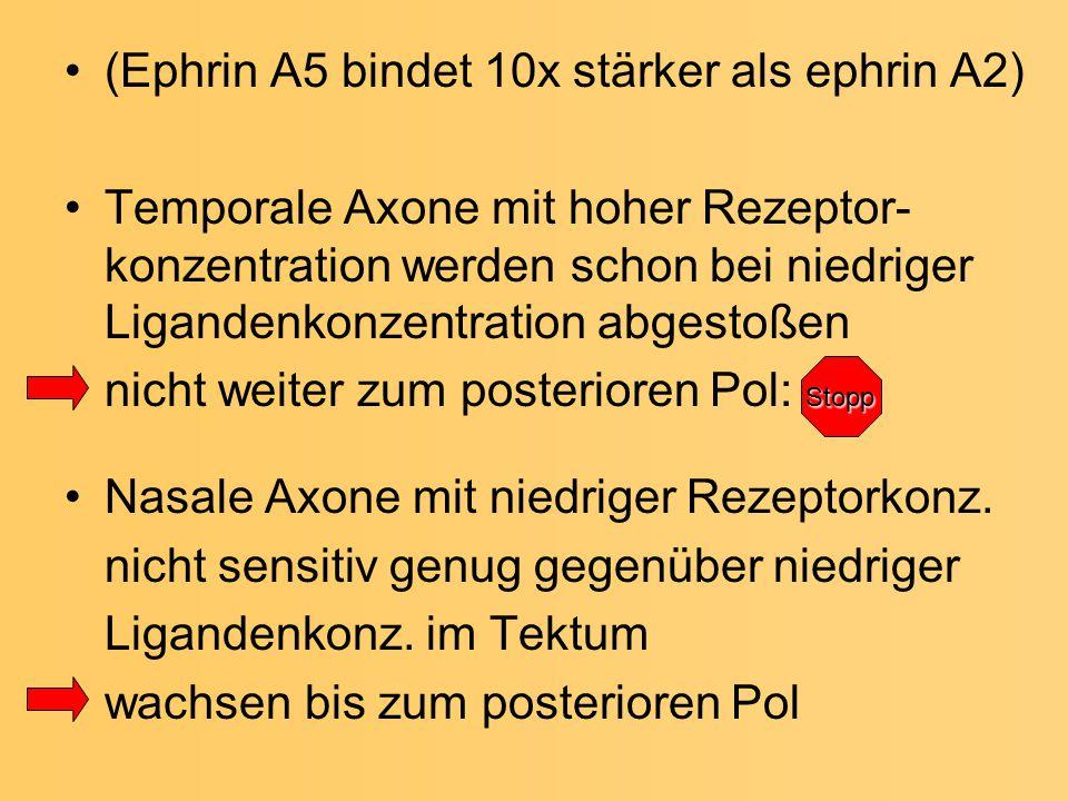(Ephrin A5 bindet 10x stärker als ephrin A2) Temporale Axone mit hoher Rezeptor- konzentration werden schon bei niedriger Ligandenkonzentration abgest