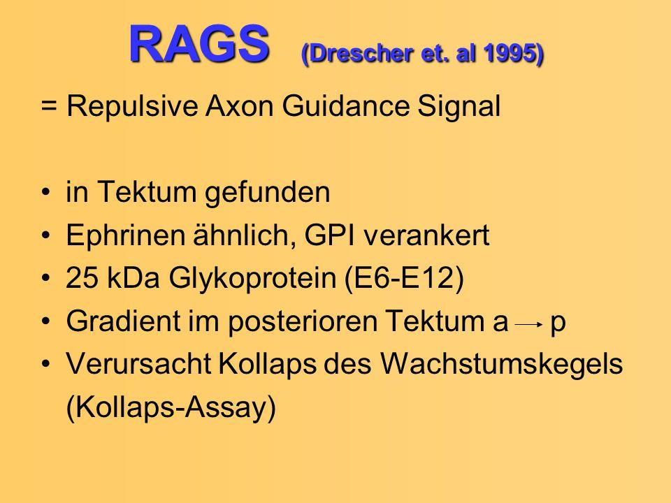RAGS (Drescher et. al 1995) = Repulsive Axon Guidance Signal in Tektum gefunden Ephrinen ähnlich, GPI verankert 25 kDa Glykoprotein (E6-E12) Gradient