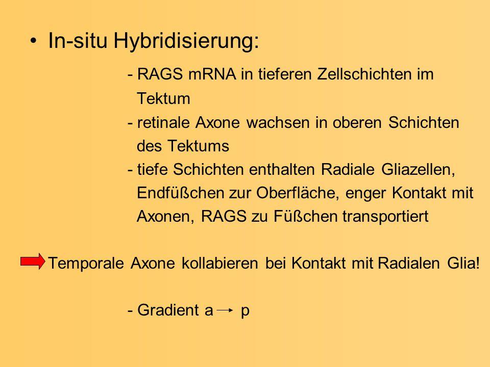 In-situ Hybridisierung: - RAGS mRNA in tieferen Zellschichten im Tektum - retinale Axone wachsen in oberen Schichten des Tektums - tiefe Schichten ent