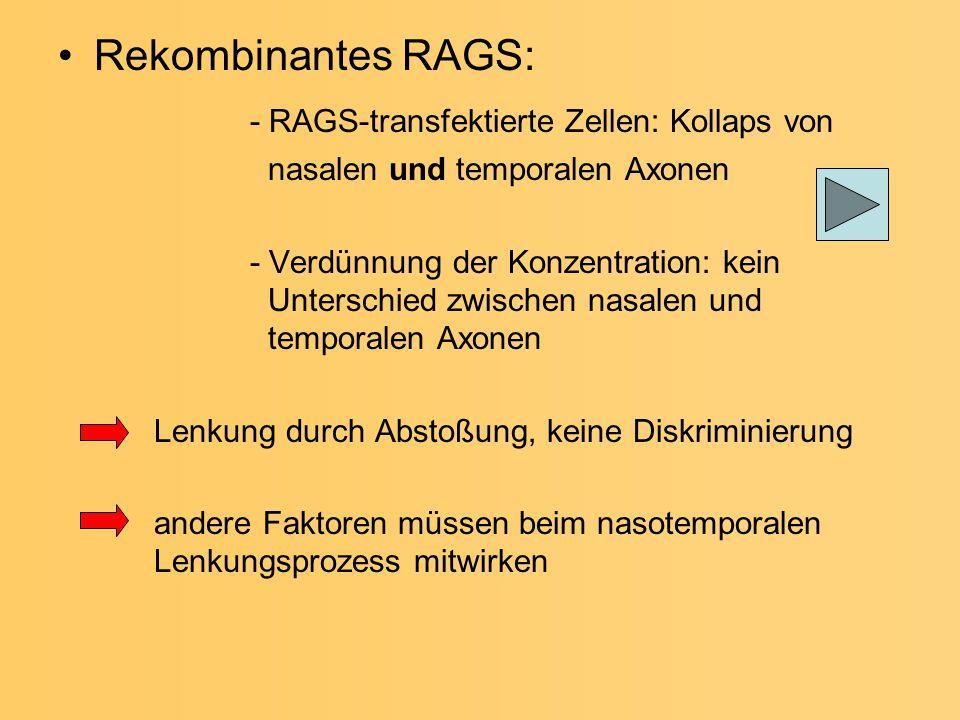 Rekombinantes RAGS: - RAGS-transfektierte Zellen: Kollaps von nasalen und temporalen Axonen - Verdünnung der Konzentration: kein Unterschied zwischen