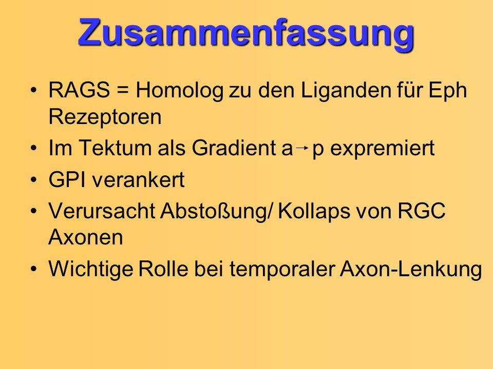Zusammenfassung RAGS = Homolog zu den Liganden für Eph Rezeptoren Im Tektum als Gradient a p expremiert GPI verankert Verursacht Abstoßung/ Kollaps vo