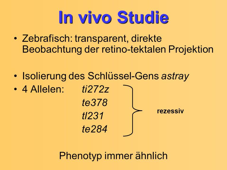 Zebrafisch: transparent, direkte Beobachtung der retino-tektalen Projektion Isolierung des Schlüssel-Gens astray 4 Allelen: ti272z te378 tl231 te284 P