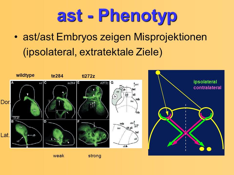 ast - Phenotyp ast/ast Embryos zeigen Misprojektionen (ipsolateral, extratektale Ziele) Lat. Dor. wildtype te284 ti272z weakstrong contralateral ipsol