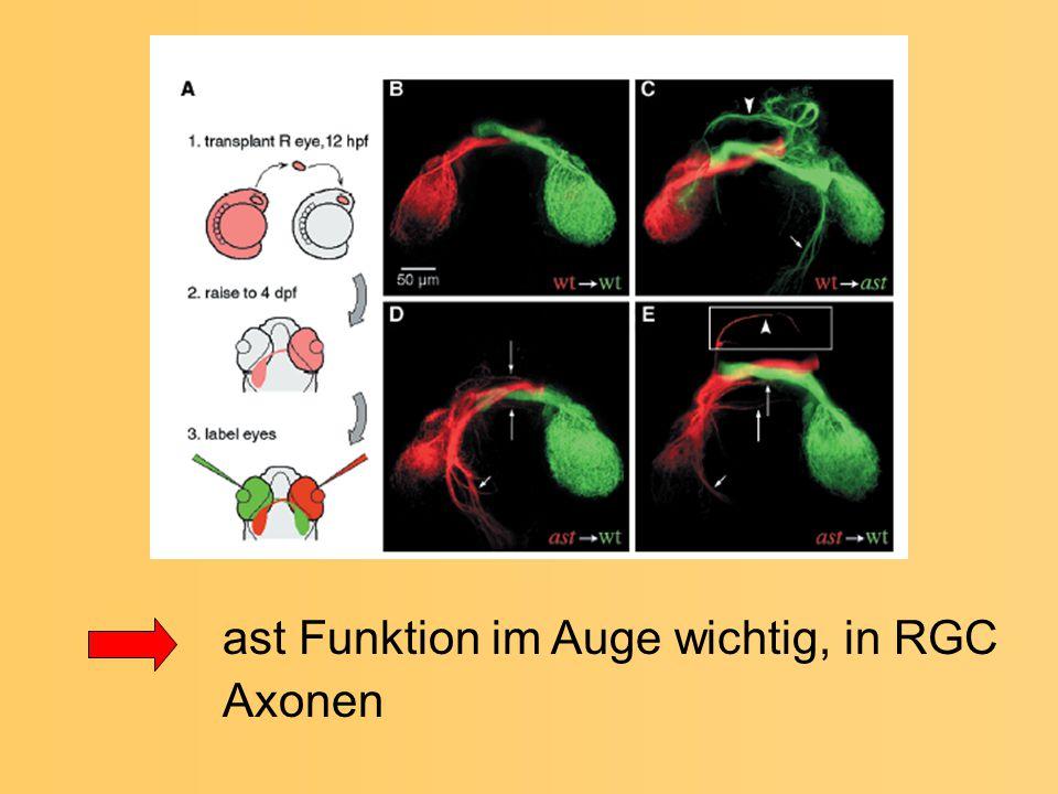 ast Funktion im Auge wichtig, in RGC Axonen