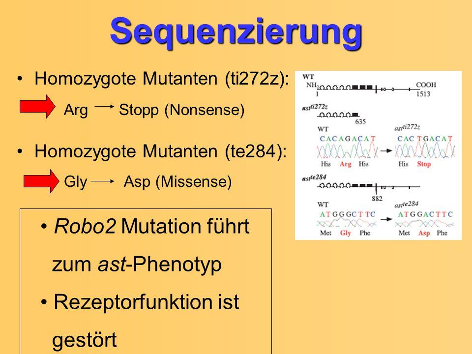 Homozygote Mutanten (ti272z): Arg Stopp (Nonsense) Homozygote Mutanten (te284): Gly Asp (Missense)Sequenzierung Robo2 Mutation führt zum ast-Phenotyp