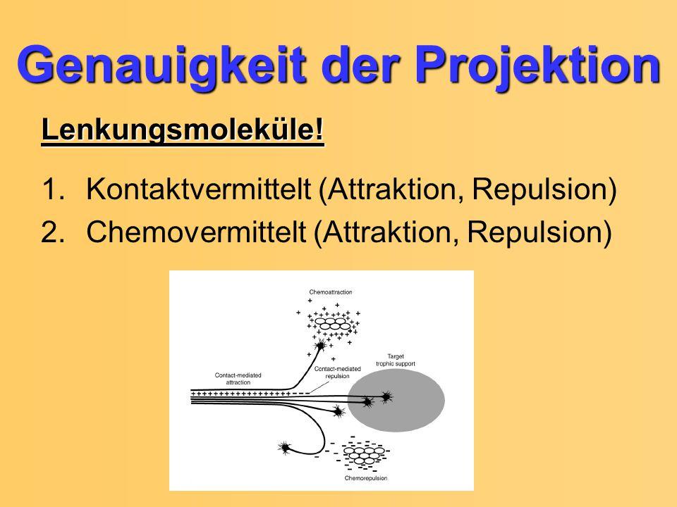 Genauigkeit der Projektion Lenkungsmoleküle! 1.Kontaktvermittelt (Attraktion, Repulsion) 2.Chemovermittelt (Attraktion, Repulsion)