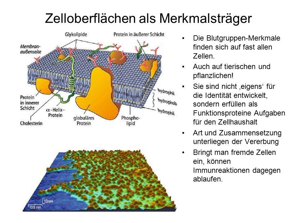 Zelloberflächen als Merkmalsträger Die Blutgruppen-Merkmale finden sich auf fast allen Zellen. Auch auf tierischen und pflanzlichen! Sie sind nicht 'e