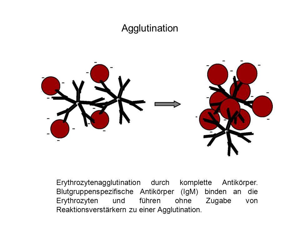 Agglutination Erythrozytenagglutination durch komplette Antikörper. Blutgruppenspezifische Antikörper (IgM) binden an die Erythrozyten und führen ohne