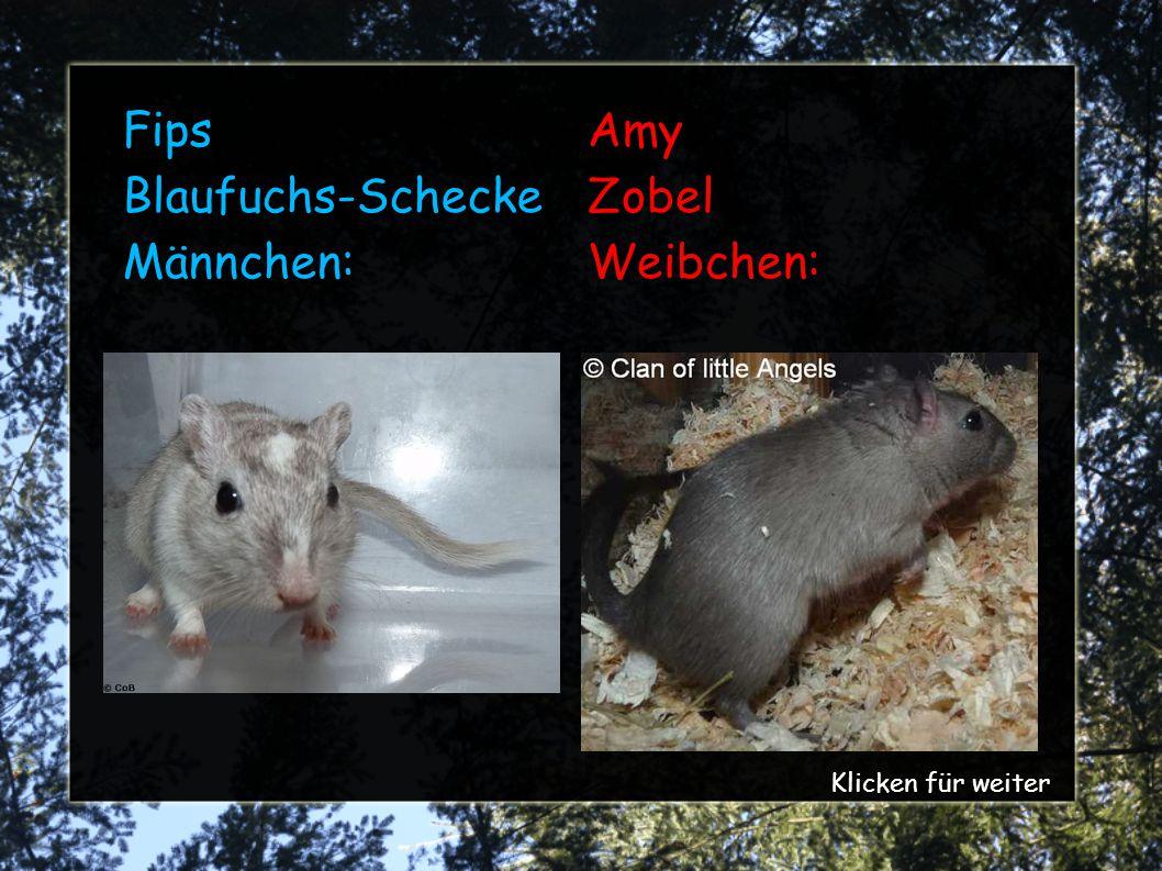 Fips Blaufuchs-Schecke Männchen: Amy Zobel Weibchen: Klicken für weiter