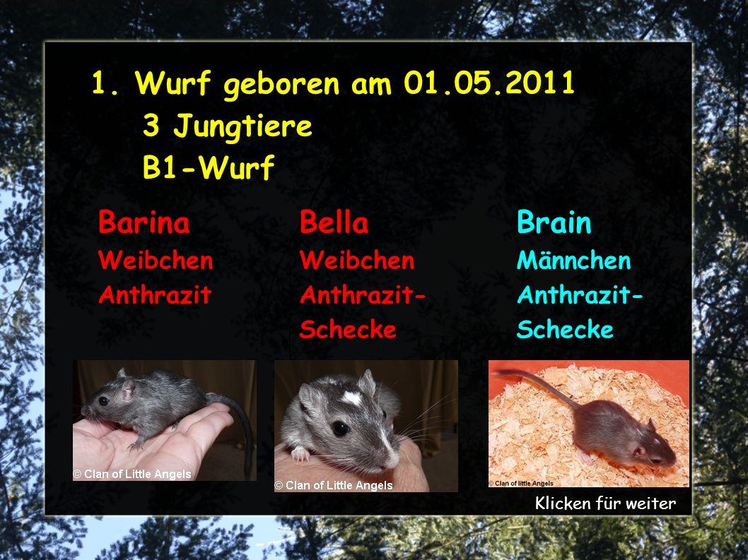 1. Wurf geboren am 01.05.2011 3 Jungtiere B1-Wurf Barina Weibchen Anthrazit Brain Männchen Anthrazit- Schecke Bella Weibchen Anthrazit- Schecke Klicke