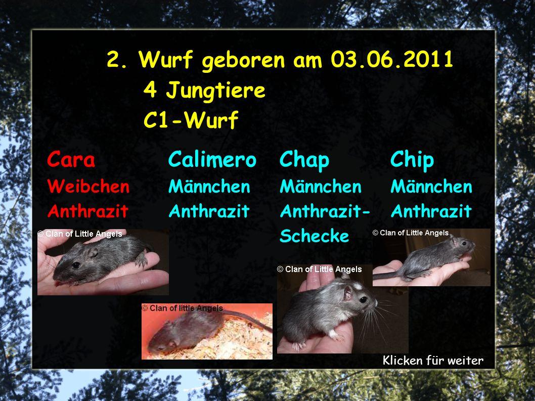 2. Wurf geboren am 03.06.2011 4 Jungtiere C1-Wurf Cara Weibchen Anthrazit Chip Männchen Anthrazit Calimero Männchen Anthrazit Chap Männchen Anthrazit-