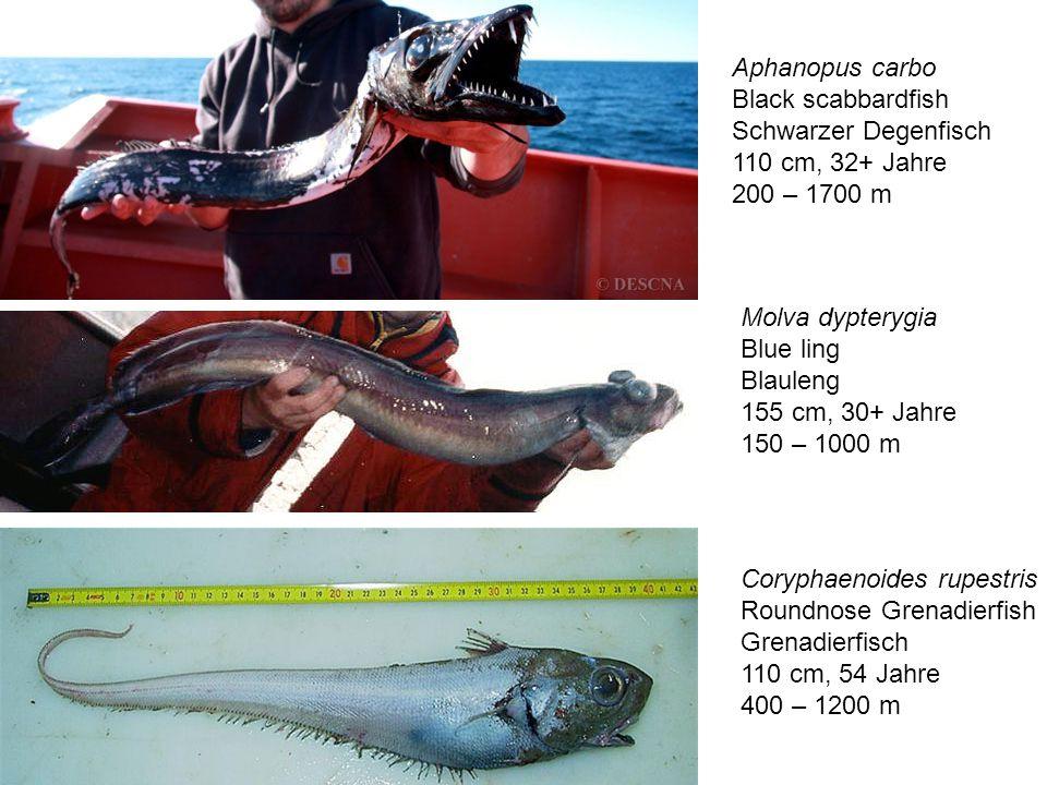 Aphanopus carbo Black scabbardfish Schwarzer Degenfisch 110 cm, 32+ Jahre 200 – 1700 m Molva dypterygia Blue ling Blauleng 155 cm, 30+ Jahre 150 – 100