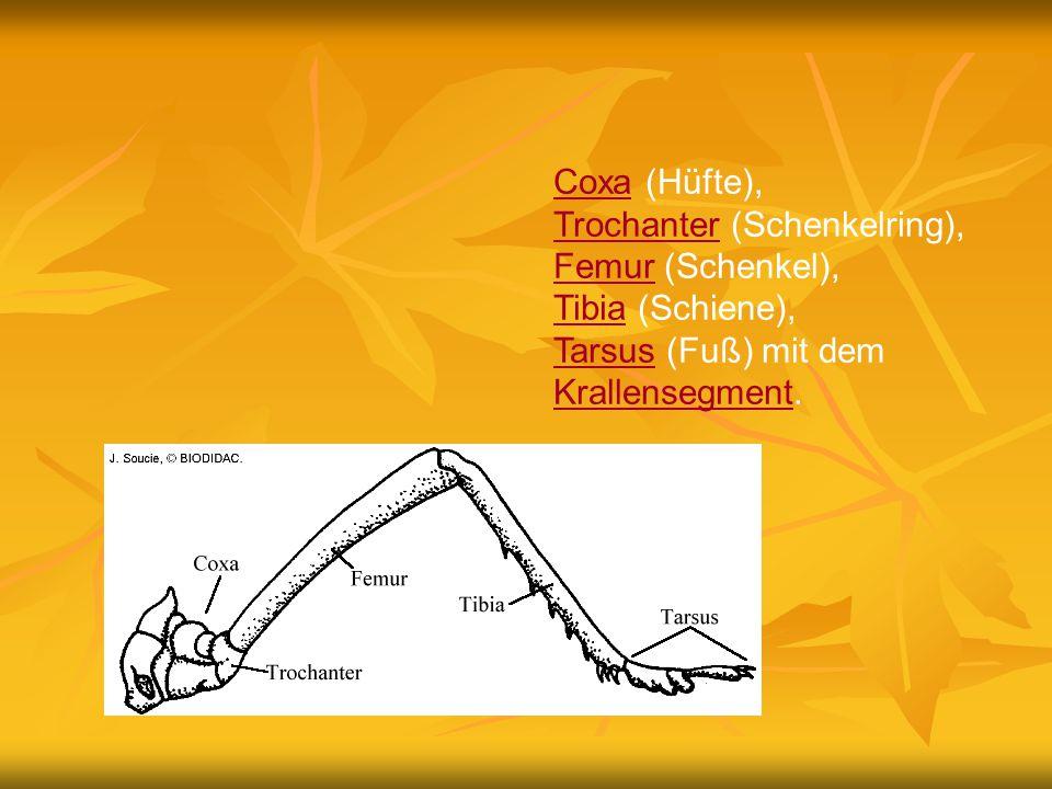 CoxaCoxa (Hüfte), TrochanterTrochanter (Schenkelring), FemurFemur (Schenkel), TibiaTibia (Schiene), TarsusTarsus (Fuß) mit dem Krallensegment. Krallen