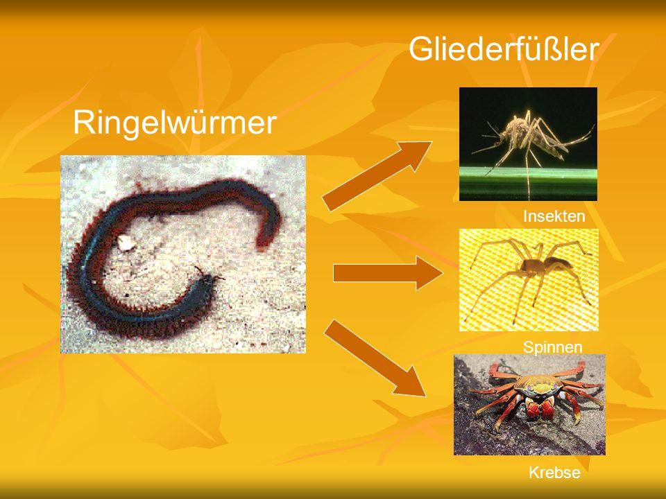 Ringelwürmer Gliederfüßler Insekten Spinnen Krebse