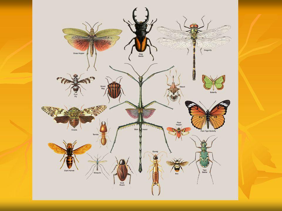 Das ursprüngliche Abdomen besteht aus 11 Segmenten.