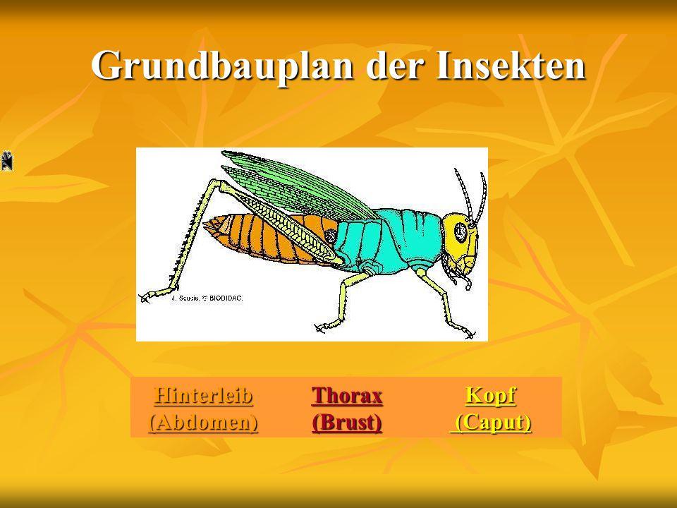 Grundbauplan der Insekten Hinterleib (Abdomen) Thorax (Brust) Thorax (Brust)Kopf (Caput) (Caput)