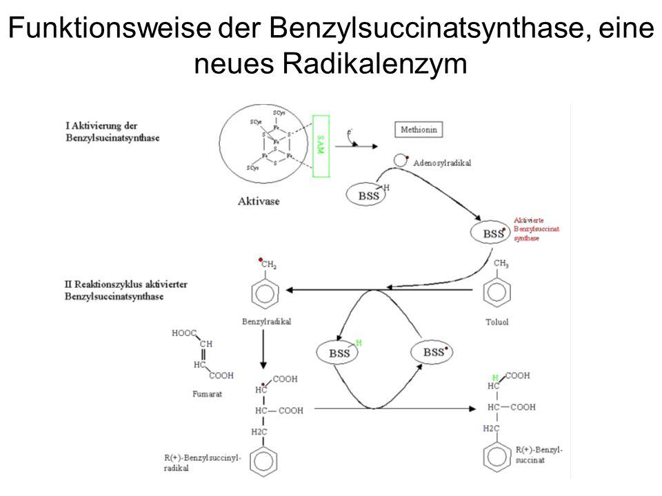 Funktionsweise der Benzylsuccinatsynthase, eine neues Radikalenzym