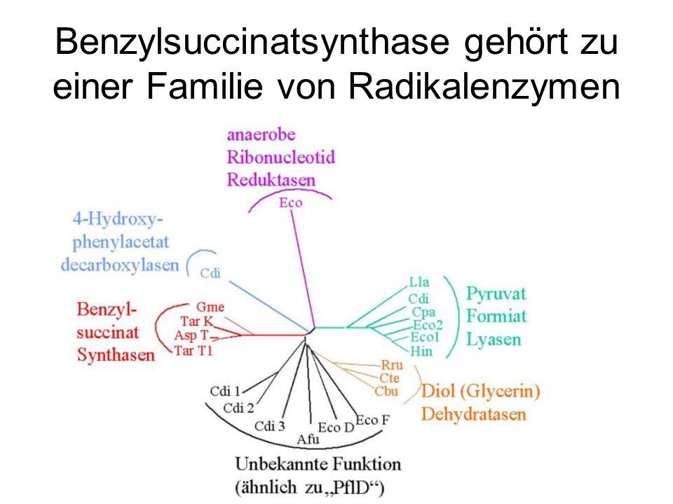 Benzylsuccinatsynthase gehört zu einer Familie von Radikalenzymen