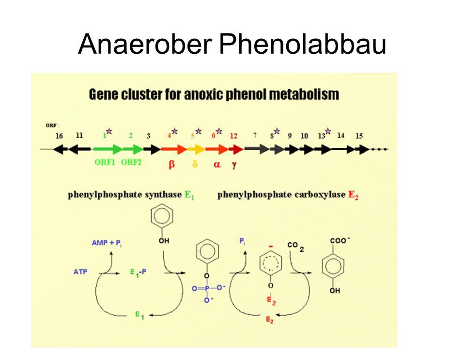 Anaerober Phenolabbau