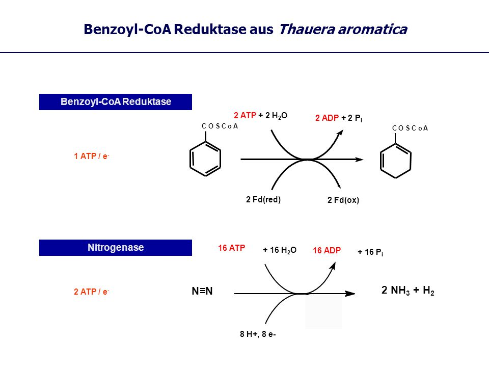 Benzoyl-CoA Reduktase aus Thauera aromatica 2 NH 3 + H 2 Nitrogenase 8 H+, 8 e- N 16 ATP + 16 H 2 O 16 ADP + 16 P i 2 ATP / e - Benzoyl-CoA Reduktase