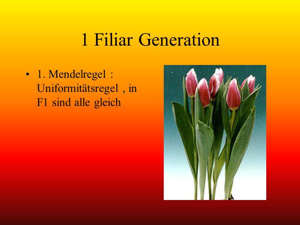 1 Filiar Generation 1. Mendelregel : Uniformitätsregel, in F1 sind alle gleich