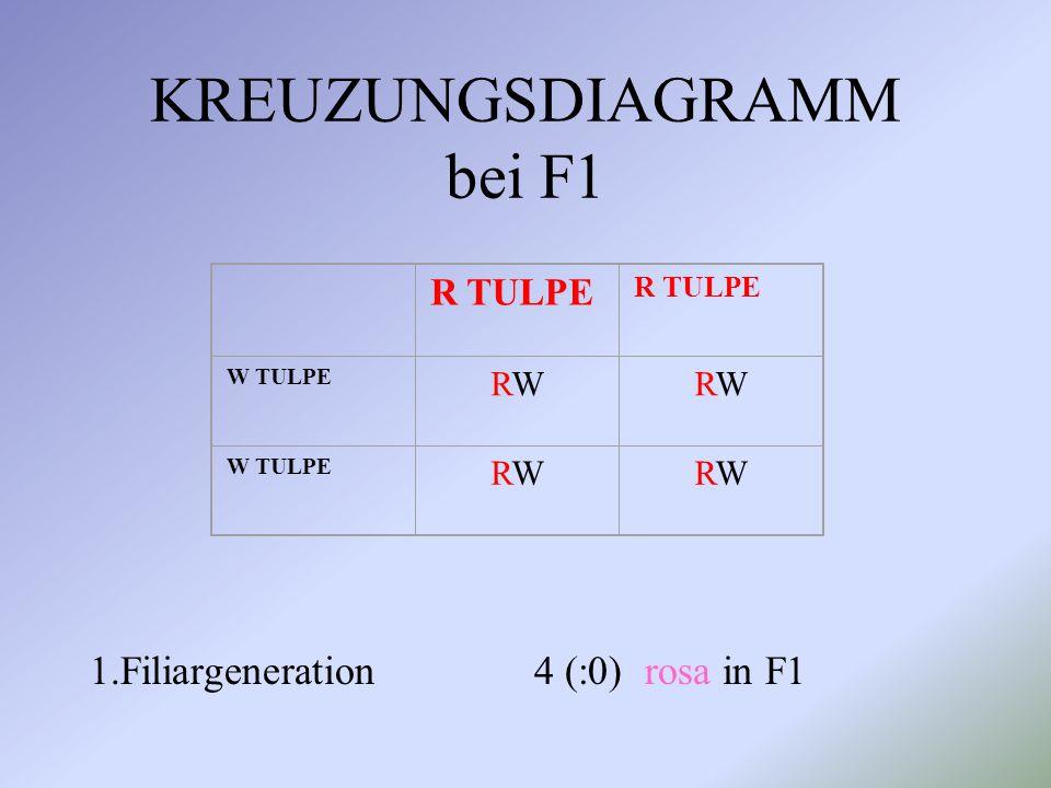 KREUZUNGSDIAGRAMM bei F1 1.Filiargeneration 4 (:0) rosa in F1 R TULPE W TULPE RWRWRWRW RWRWRWRW