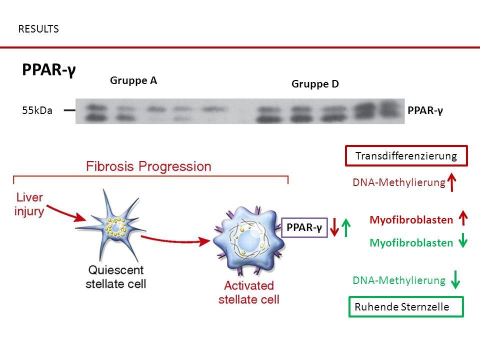 RESULTS Gruppe A Gruppe D PPAR-γ β-actin43kDa 55kDa DNA-Methylierung PPAR-γ Myofibroblasten Ruhende Sternzelle DNA-Methylierung PPAR-γ Transdifferenzi
