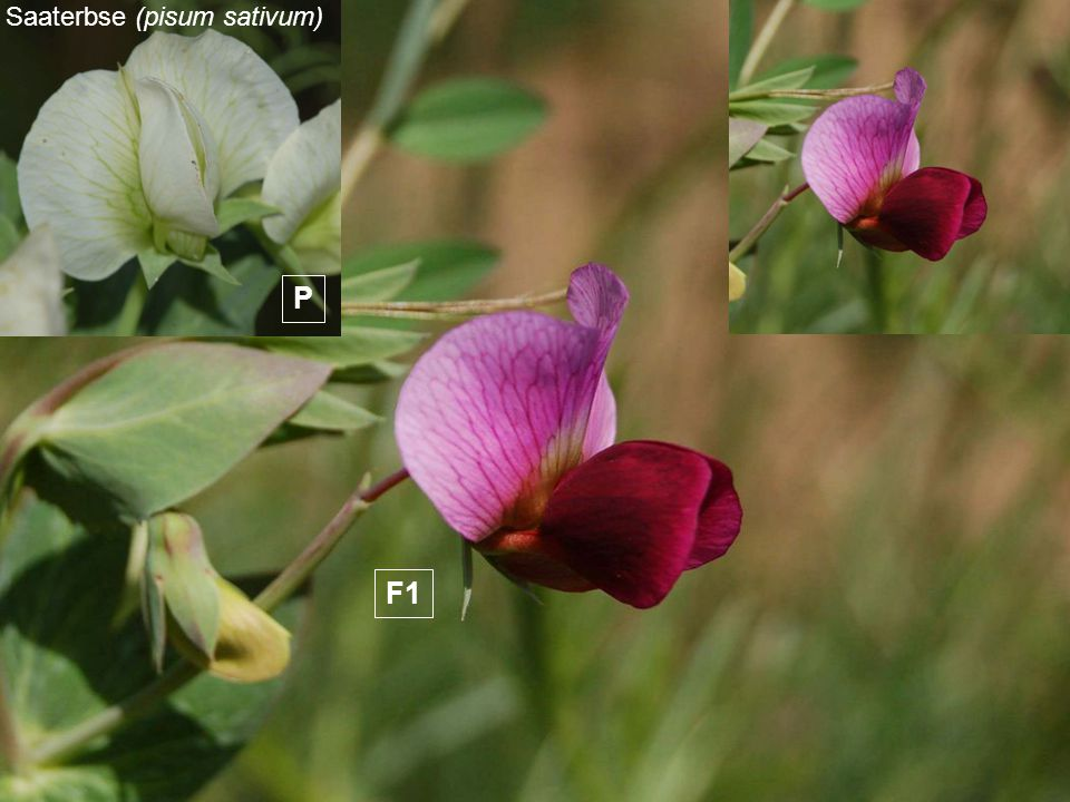 Saaterbse (pisum sativum) F1 PP