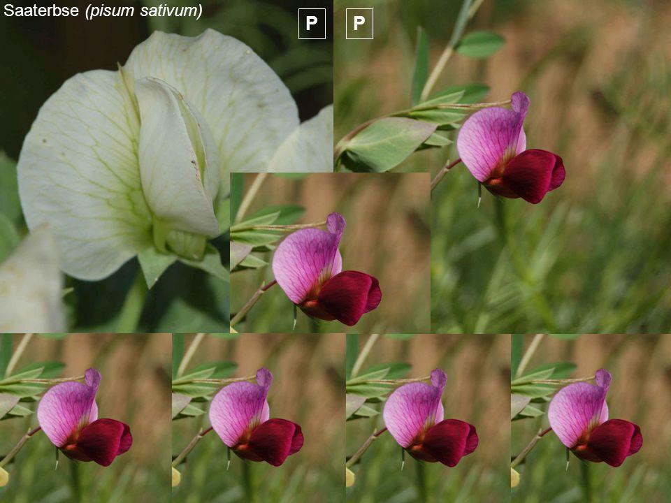 Saaterbse (pisum sativum) PP F1 F2