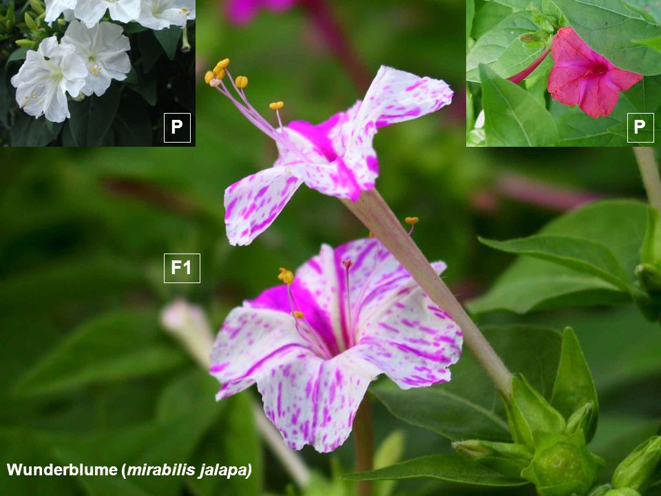 Wunderblume (mirabilis jalapa) PP F1