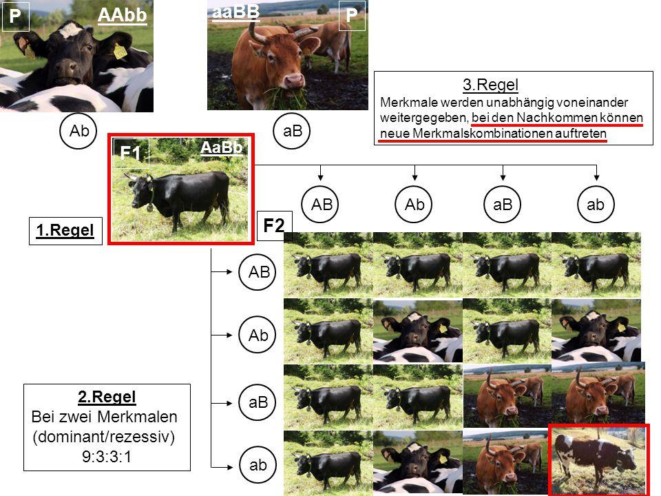 AAbb aaBB AbaB AaBb ABAbaBab AB Ab aB ab 3.Regel Merkmale werden unabhängig voneinander weitergegeben, bei den Nachkommen können neue Merkmalskombinationen auftreten F2 F1 P P 2.Regel Bei zwei Merkmalen (dominant/rezessiv) 9:3:3:1 1.Regel